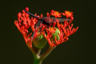 11-jatropha-podagrica