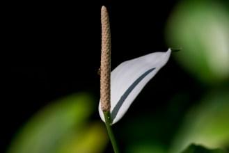 19-spathiphyllum-cannifolium
