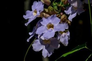 21-thumbergia-grandiflora