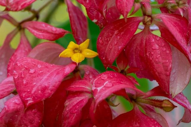 23-mussaenda-erythrophylla