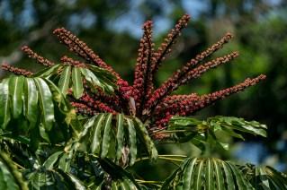 40-schefflera-actinophylla