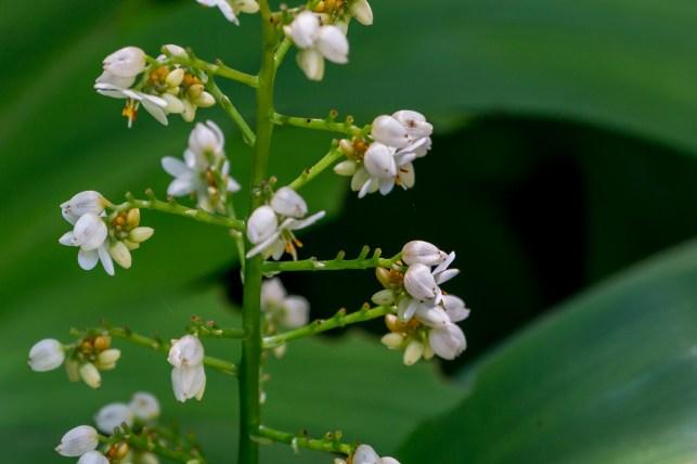 55-xiphidium-caeruleum