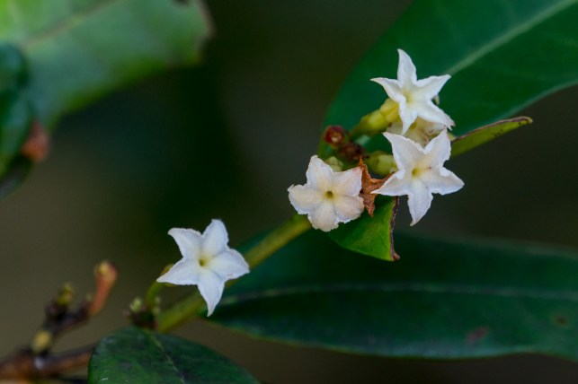 76-mascarenhasia-arborescens