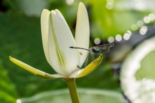 15 - Nymphae lotus