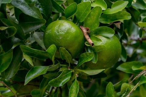 34 - Citrus reticulata