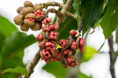 45 - Magnolia champaca