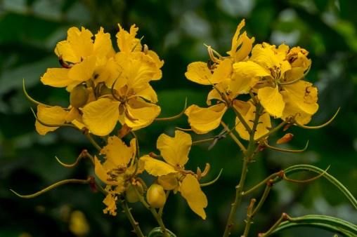 50 - Senna appendiculata