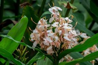 63 - Hedychium crysoleucum