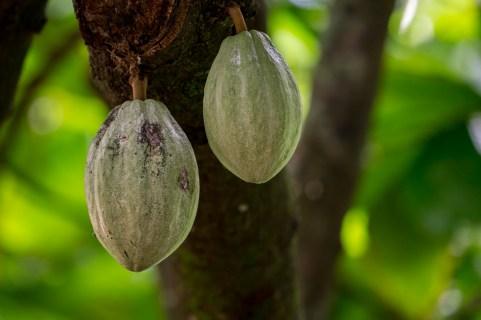 66 - Theobroma cacao