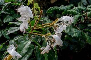 77 - Camoensia scandens