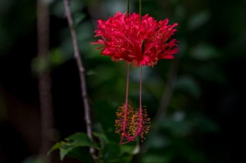 79 - Hibiscus schizopetalus