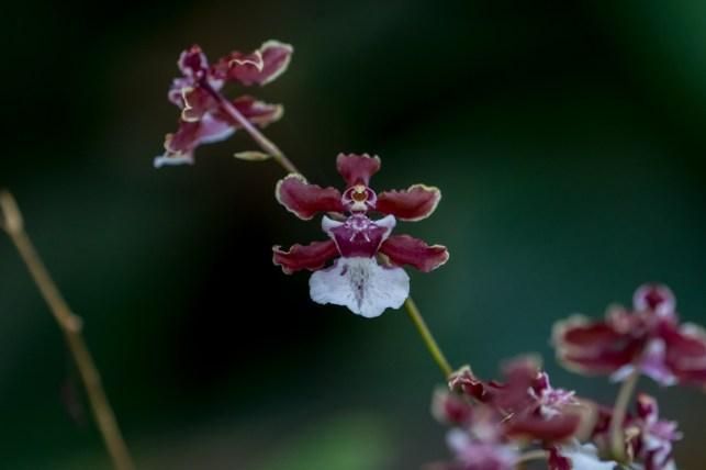 12 - Maxillaria sharry baby