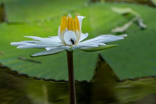 31 - Nymphaea lotus