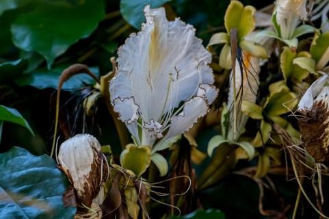 33 - Camoensia scandens