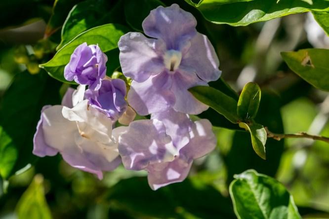 37 - Brunfelsia grandiflora