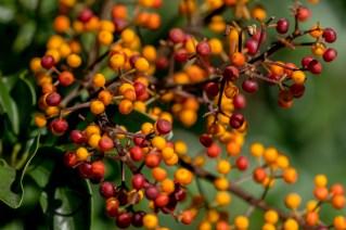 40 - Schefflera arboricola