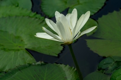 18 - Nymphaea lotus