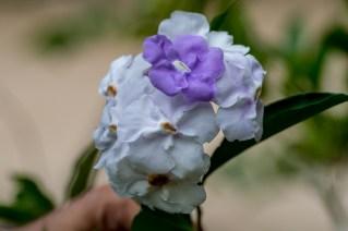 27 - Brunfelsia grandiflora