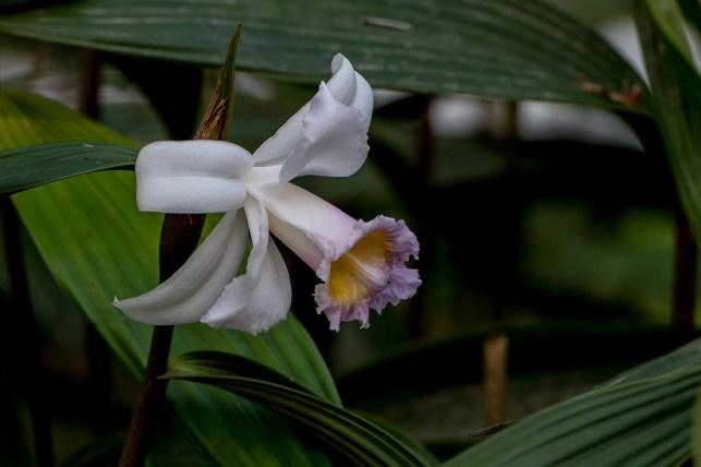 37 - Sobralia yauaperyensis