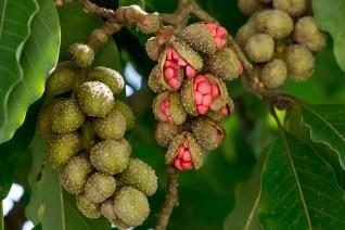 40 - Magnolia champaca