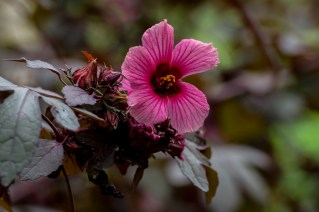49 - Hibiscus acetosella