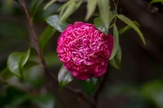 62 - Camellia japonica