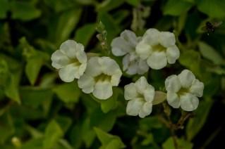 68 - Asystasia coromandeliana