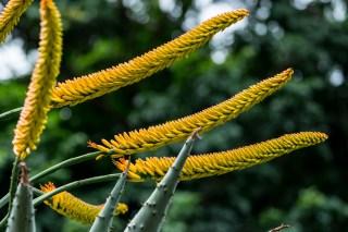 11-Aloe succotrina com flores amarelas