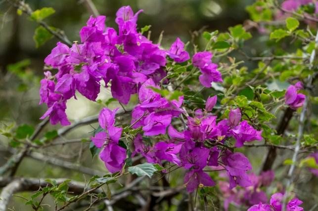 30-Bougainvillea spectabilis