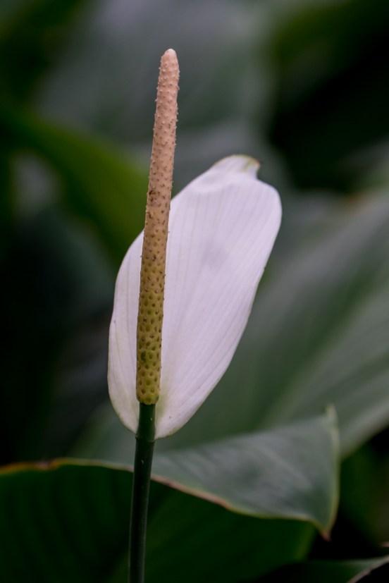 47--Spatiphyllum cannifolium