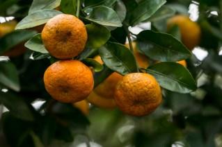 55-Citrus reticulata