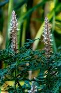 03 - Acanthus montanus