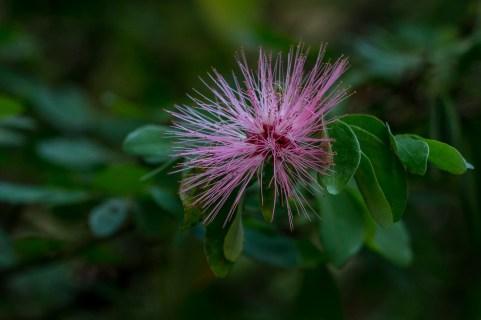 10 - Calliandra harrisii