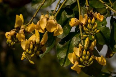 34 - Erythrina fusca