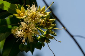 39 - Duabanga grandiflora