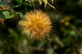 43 - Stifftia chrysantha