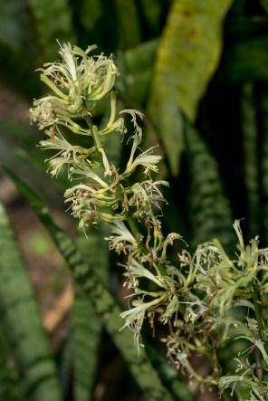 45 - Sansevieria trifasciata
