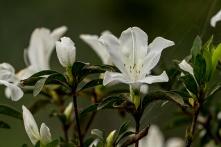 52 - Rhododendron simsii