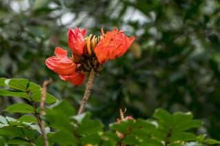 53 - Spathodea campanulata