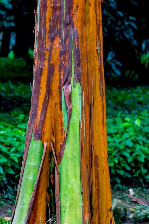 68 - Calycophyllum spruceanum (detalhe)