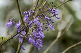 01 - Jacaranda mimosifolia