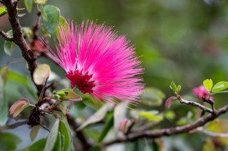 05 - Calliandra harrisii