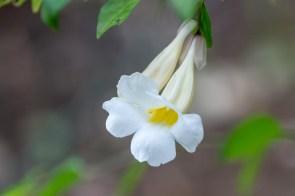 07 - Thumbergia erecta