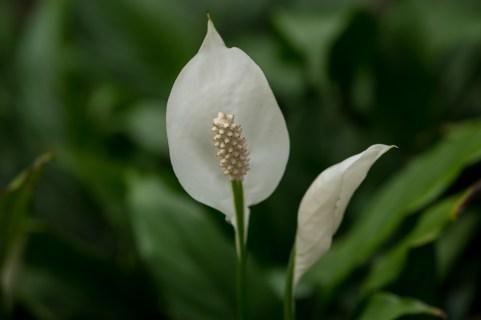 17 - Spathiphyllum wallisii