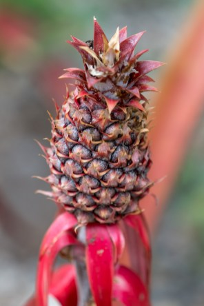 20 - Ananas lucidus