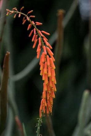 34 - Aloe flor laranja