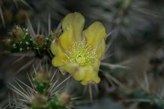 37 - Cacto flor amarela - opuntia