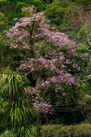 39 - Tabebuia rosea 1