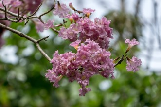 39 - Tabebuia rosea 2