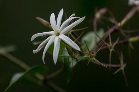 41 - Jasminum laurifolium